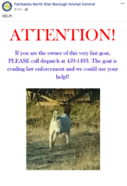 Flyer that has a goat on it